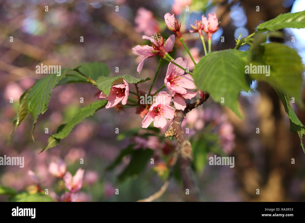 Beautiful Japanese cherry blossoms. These pink beauties are still attached to a cherry tree branch. In this close up photo the flowers are blooming. Stock Photo
