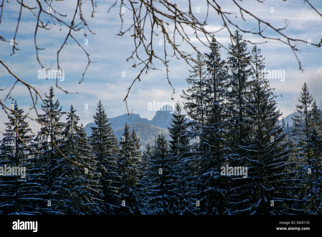 Giewont (peak in the Tatra Mountains) behind spruces in the winter scenery - Stock Image
