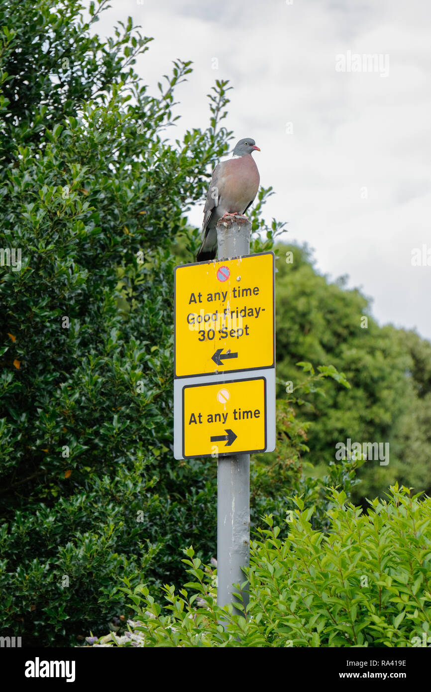 Pigeon perched on a no waiting parking sign. England UK - Stock Image