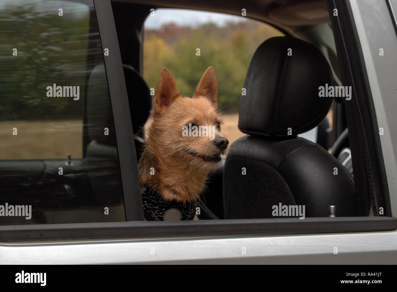 A puppy that loves his car rides. Bokeh background. - Stock Image