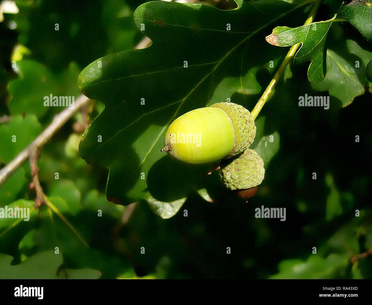 Acorn on an oak tree in summer - Stock Image
