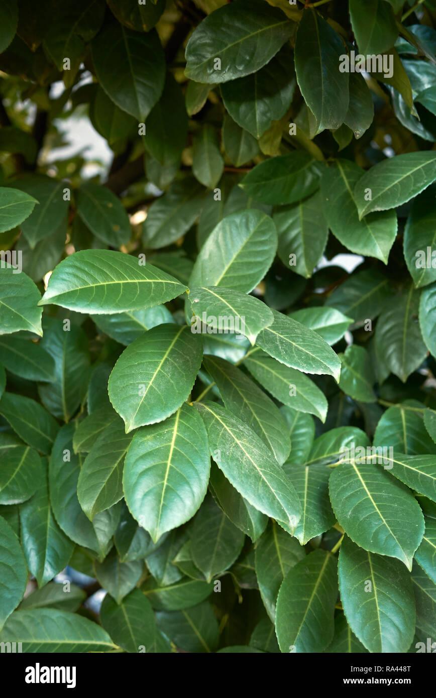Prunus laurocerasus foliage - Stock Image
