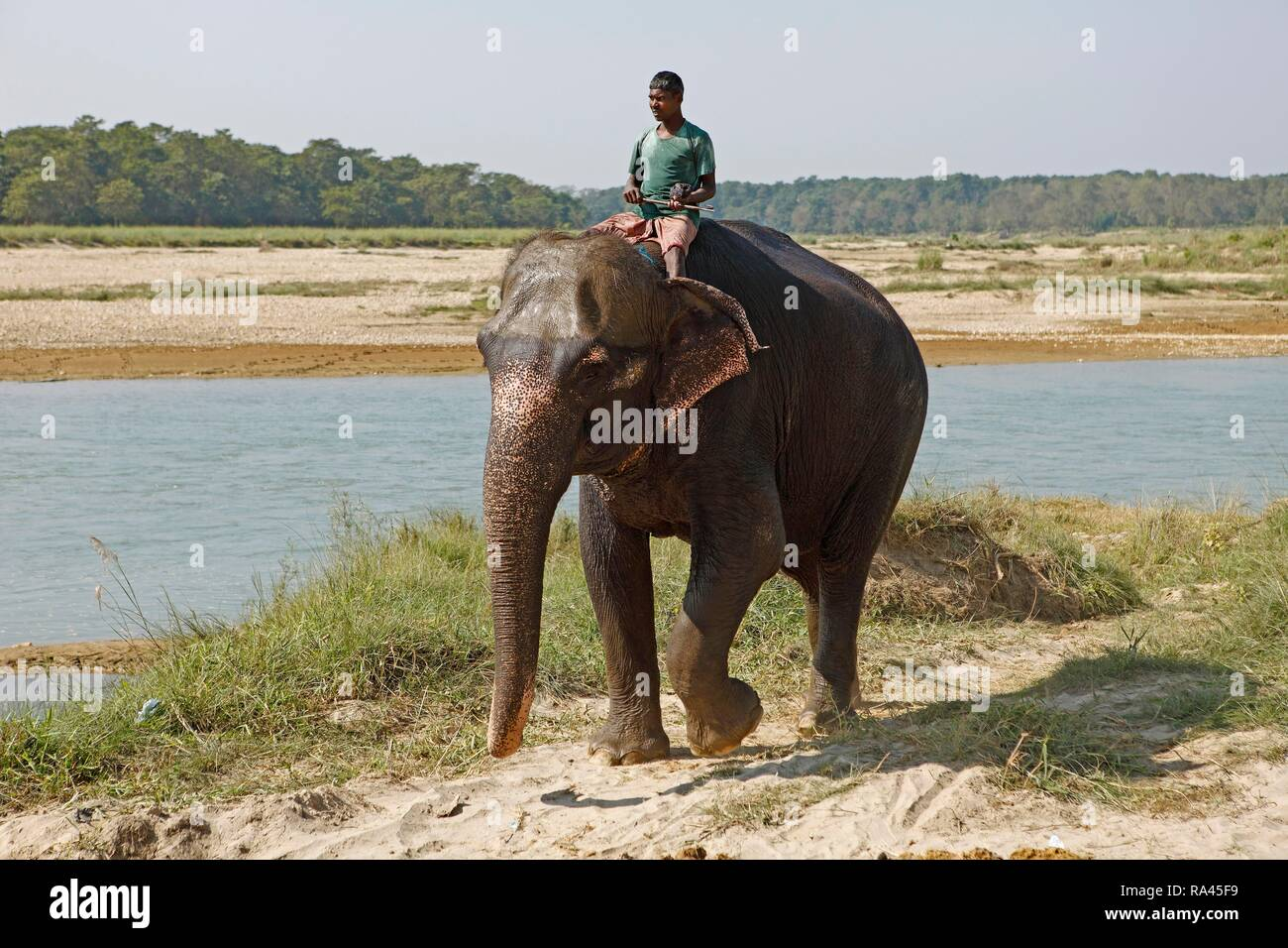 Mahut on a Elephant (Elephantidae), Sauraha, Chitwan National Park, Terai lowlands, Nepal - Stock Image