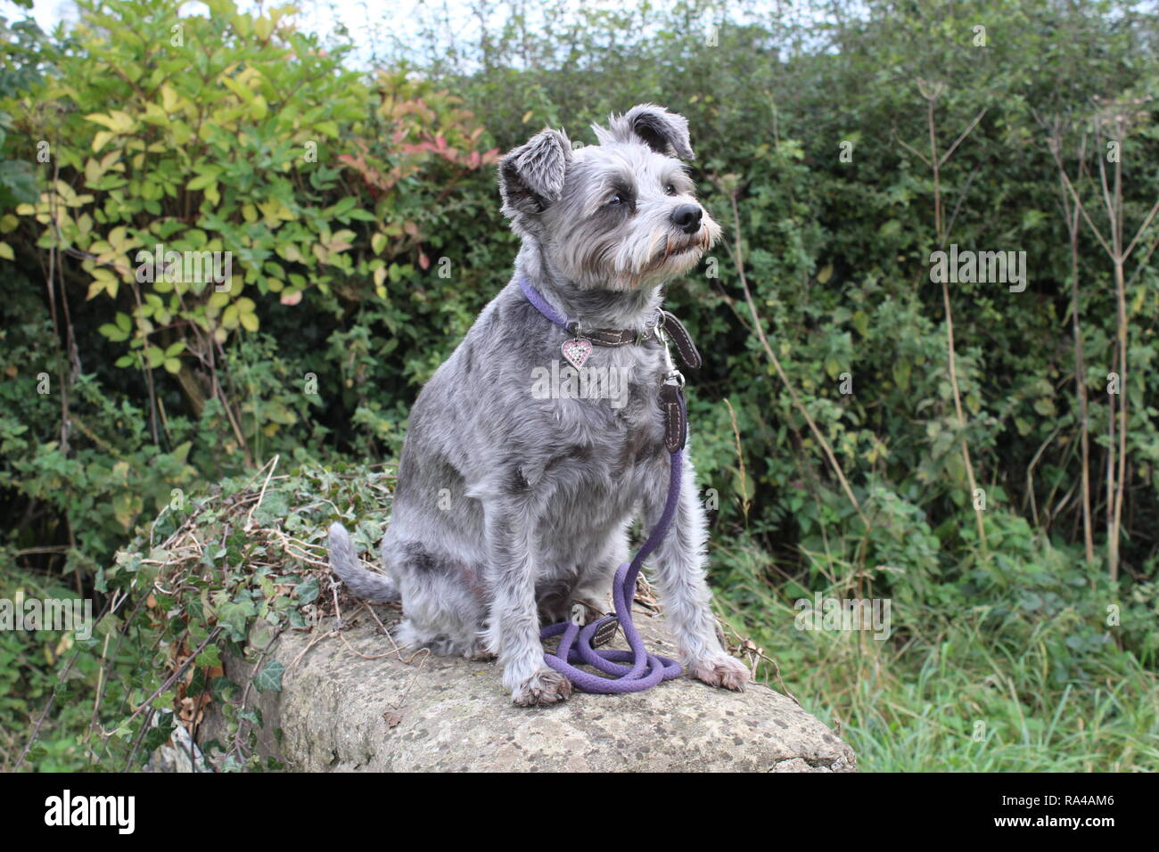 Schnoodle (cross between a Miniature Schnauzer and a Poodle) with floppy ears called Tilly having a rest on a walk near Harton, North Yorkshire - Stock Image
