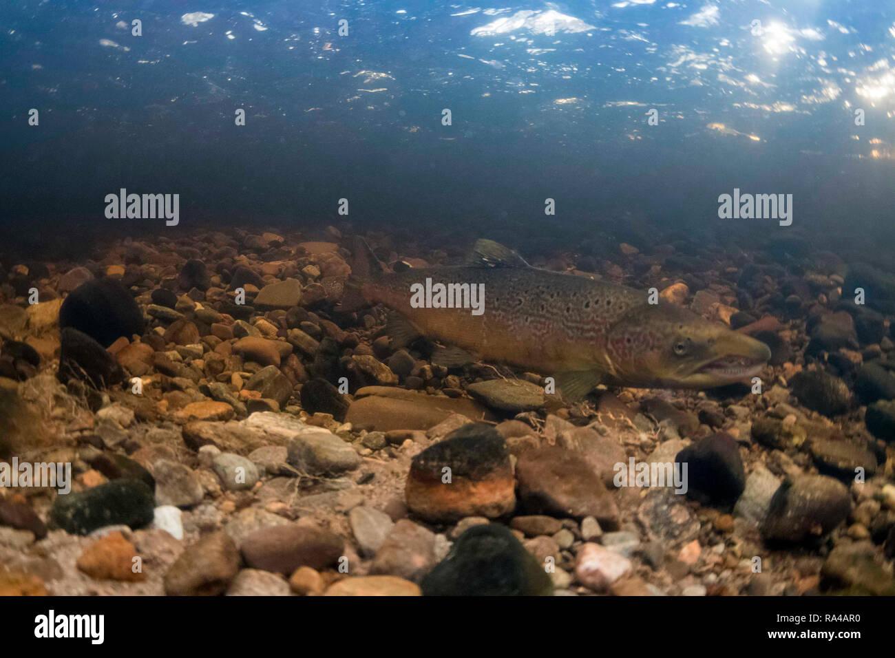 Atlantic salmon, salmo salar, adukt male on redd (nest) during breeding season, novermber, river livet, cairngorms, - Stock Image