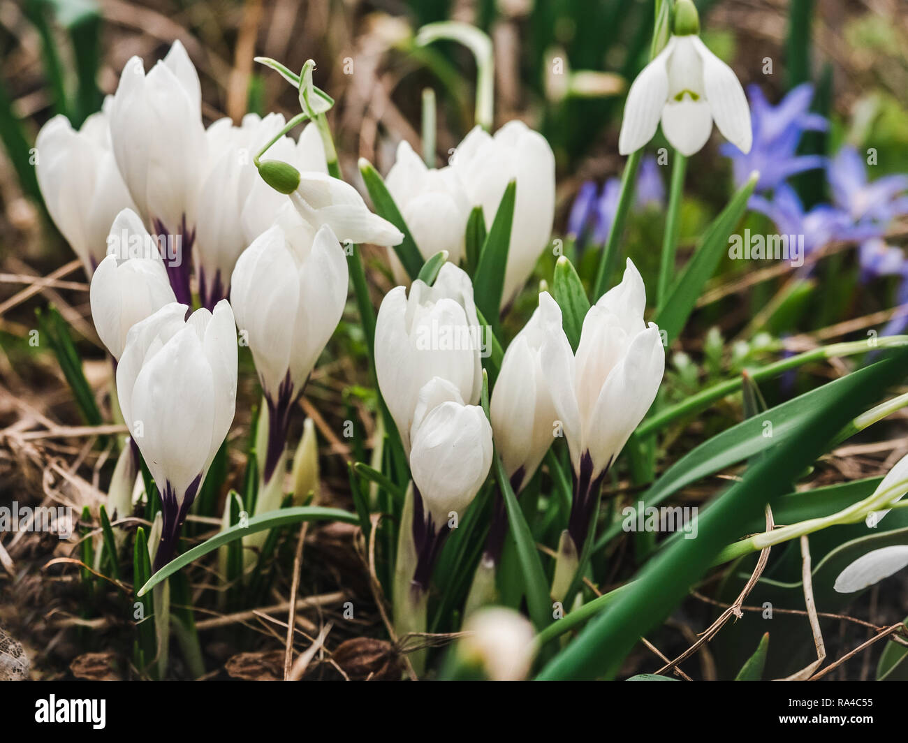 Early, bright, spring crocus and scilla flowers on the background of last year's grass Stock Photo