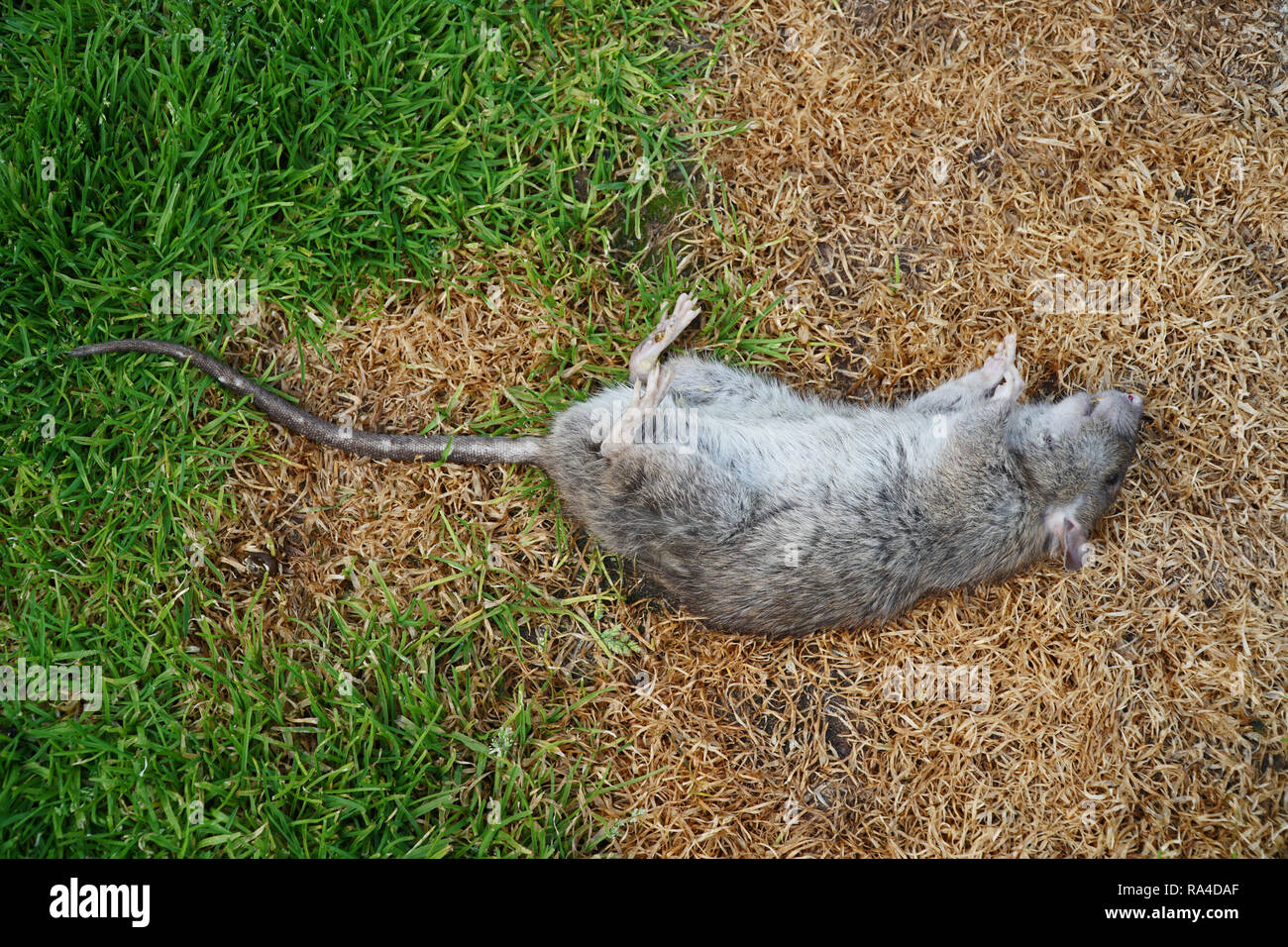Dead brown rat or rattus norvegicus on grass - Stock Image