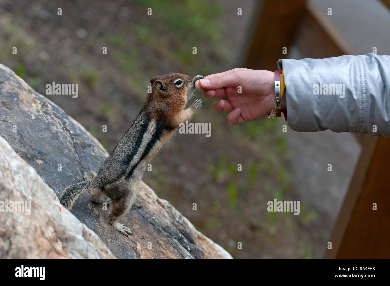 Golden-mantled Ground Squirrel (Spermophilus lateralis) touching a girl's hand, Banff National Park, Rocky Mountains, Alberta, Canada - Stock Image