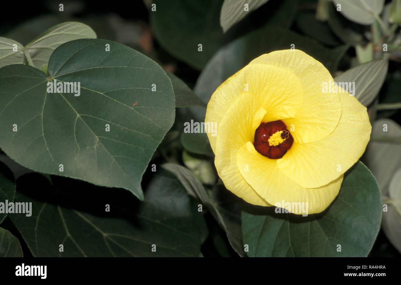 Common Hibiscus Stock Photos Common Hibiscus Stock Images Alamy