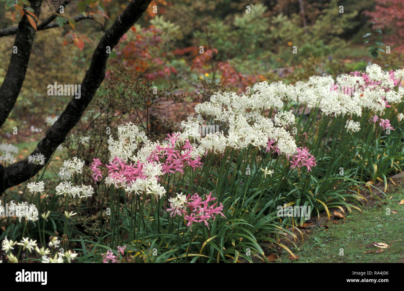 GARDEN BED OF NERINE BOWDENII (KNOWN AS PINK AGAPANTHUS OR LARGE PINK NERINE). BLUE MOUNTAINS, NEW SOUTH WALES, AUSTRALIA - Stock Image