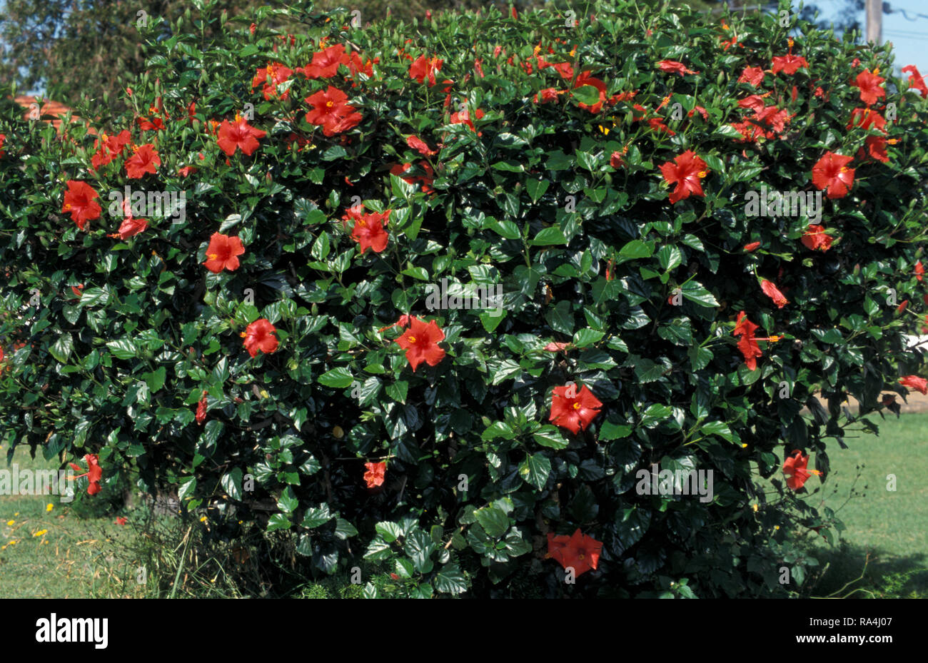 Hibiscus Bush Stock Photos Hibiscus Bush Stock Images Alamy