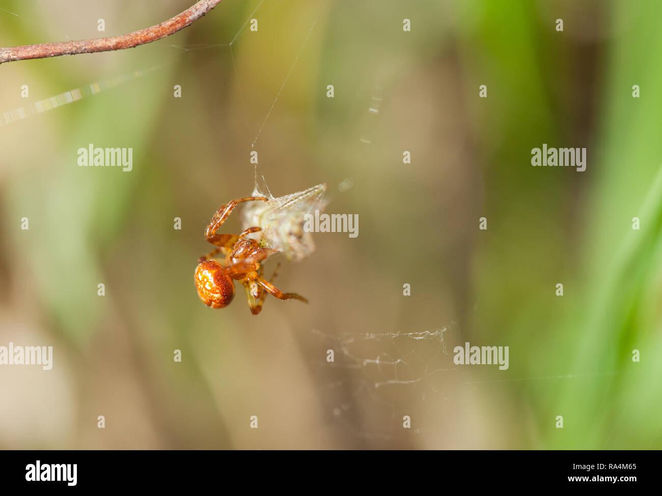 Strawberry wheel weaving spider - Stock Image