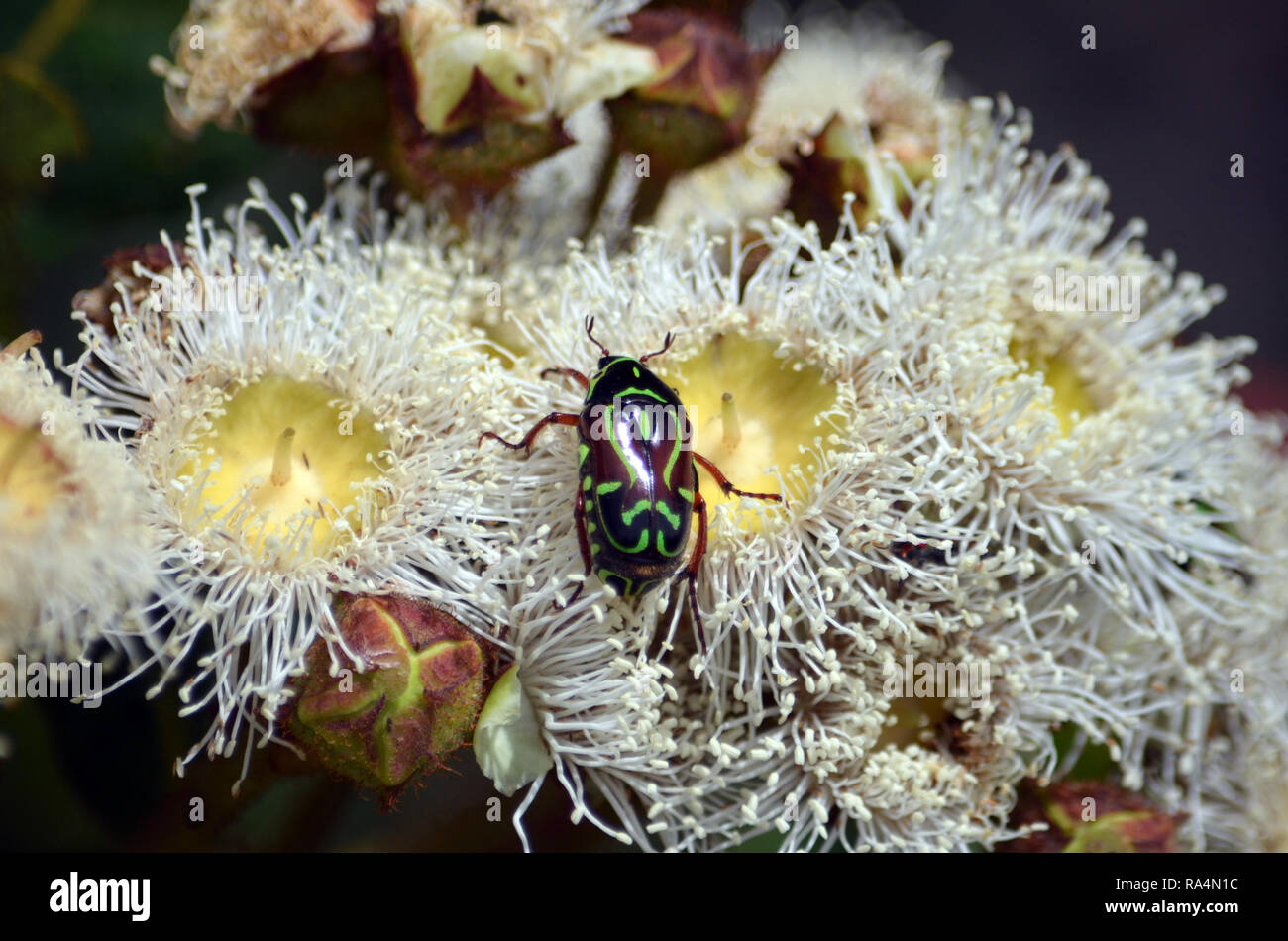 Australian native Fiddler Beetle, Eupoecila australasiae, family Scarabaeidae, feeding on nectar of Angophora hispida blossoms, Royal National Park - Stock Image