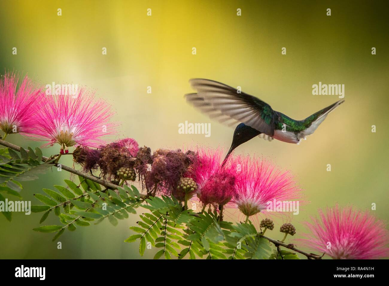 White Necked Jacobin Hovering Next To Pink Mimosa Flower Bird In