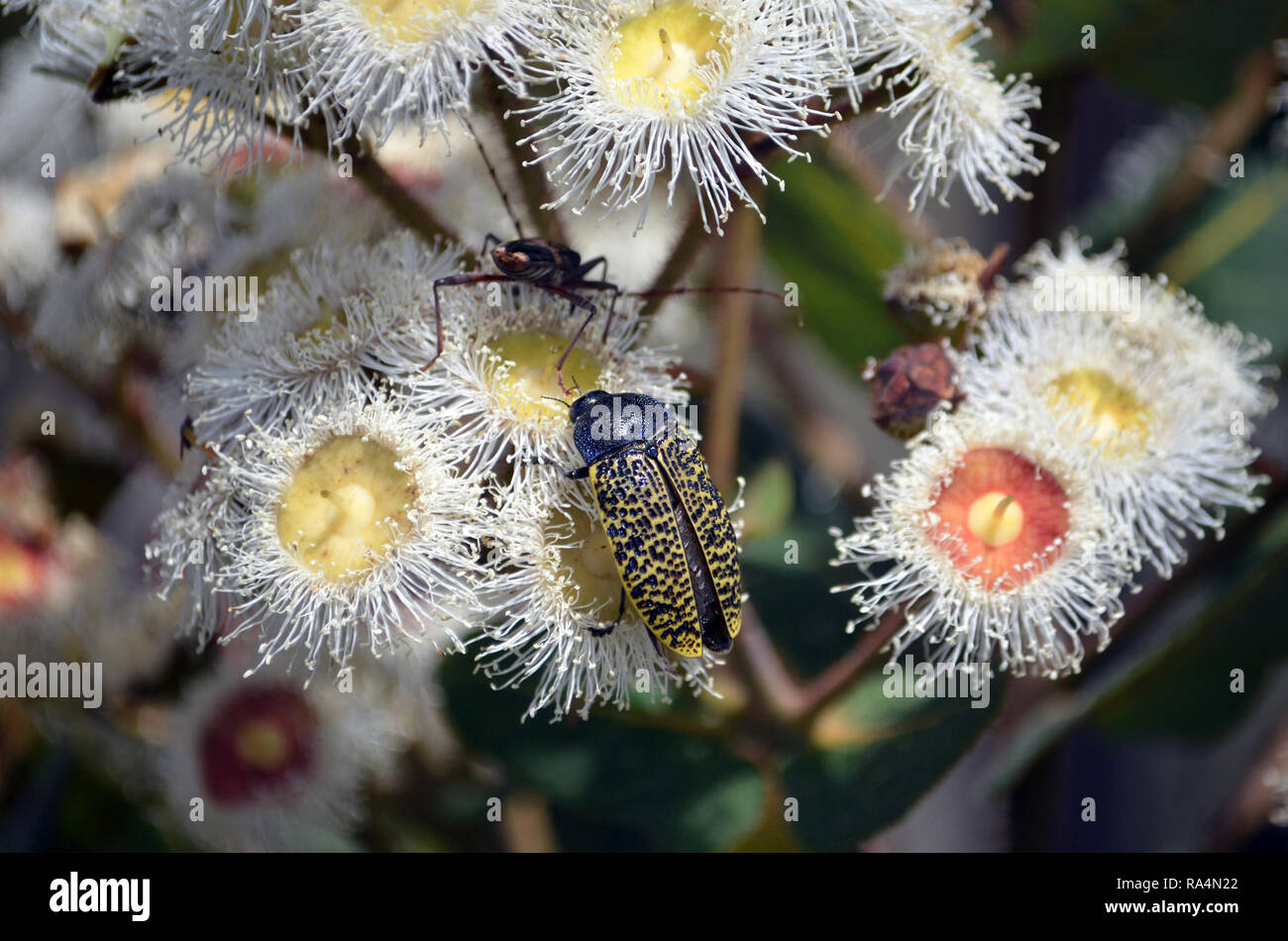 Australian native Freckled Jewel Beetle, Stigmodera macularia, feeding on nectar of Angophora hispida blossoms, Royal National Park, NSW, Australia - Stock Image