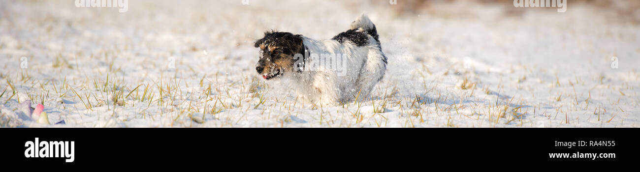 Jack Russell Terrier - Cute little dog runs over snowy meadow in winter - Stock Image