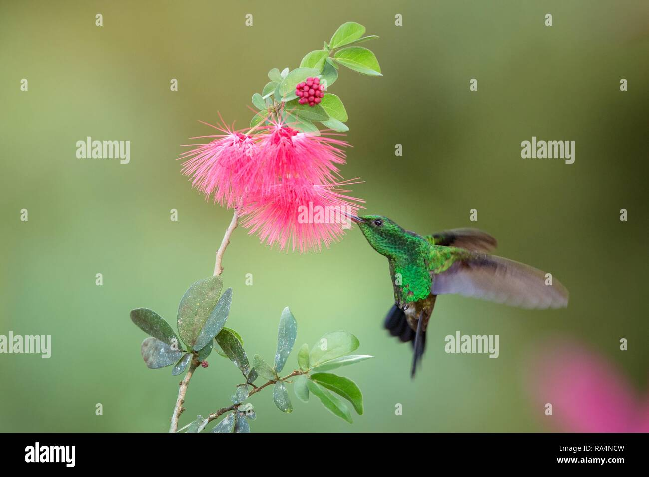 Copper Rumped Hummingbird Hovering Next To Pink Mimosa Flower Bird