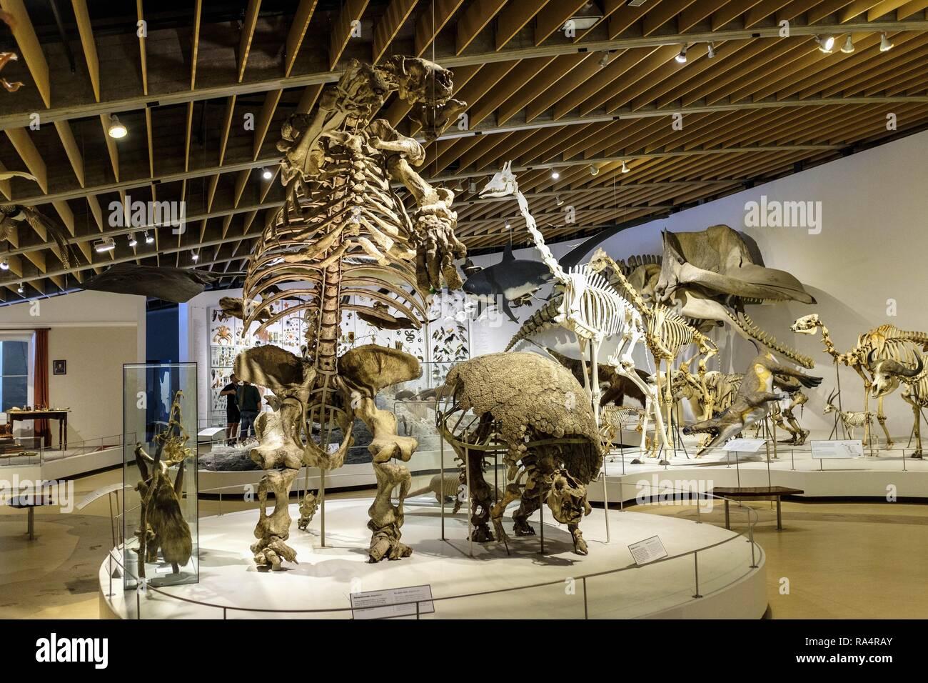 Dania - region Zealand - Kopenhaga - Muzeum Historii Naturalnej - Muzeum Zoologiczne - sala wystawowa poswiecona eksponatom ewolucji zwierzat - szkielety i skamienialosci Denmark - Zealand region - Co - Stock Image