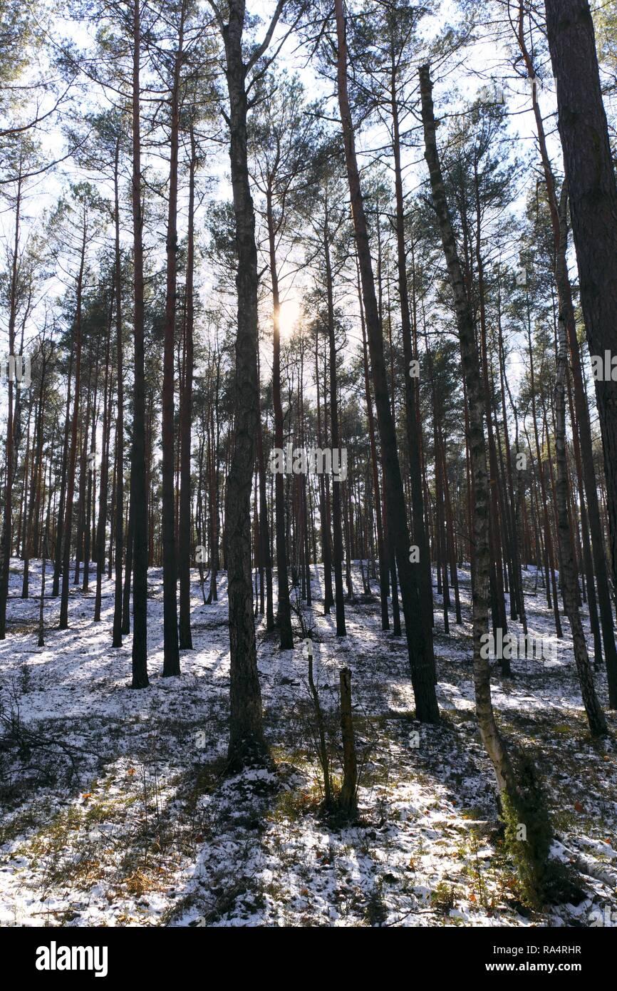 Polska - Mazowsze - Warszawa - Kampinoski Park Narodowy - gestwina lesna w czasie przedwiosnia w okolicach Truskawia  Poland - Mazovia - Warsaw - Kampinoski National Park - forest thicket in early spr - Stock Image