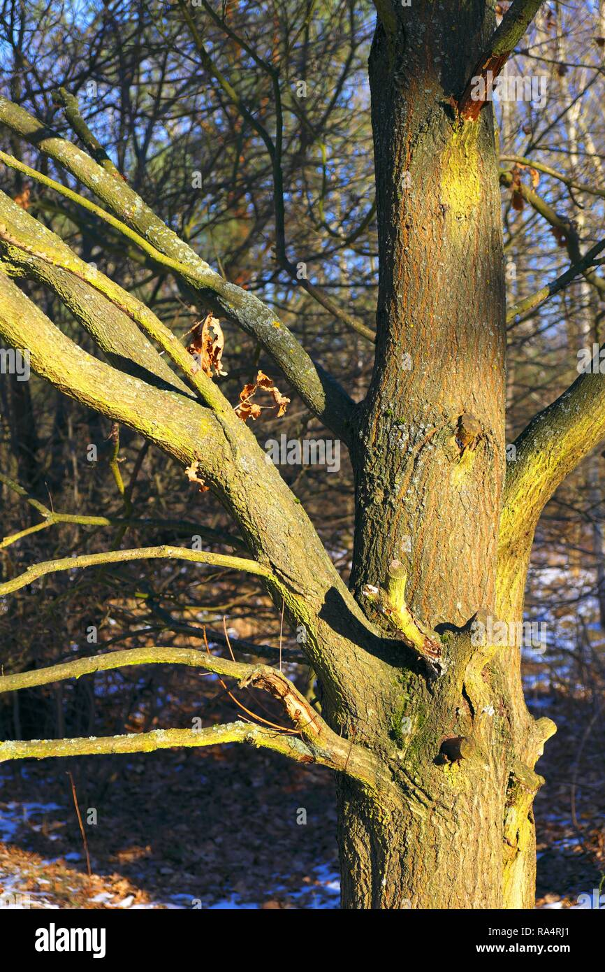 Polska - Mazowsze - Warszawa - Kampinoski Park Narodowy - pien drzewa z fantazyjnymi konarami w czasie przedwiosnia w okolicach Truskawia  Poland - Mazovia - Warsaw - Kampinoski National Park - tree t - Stock Image