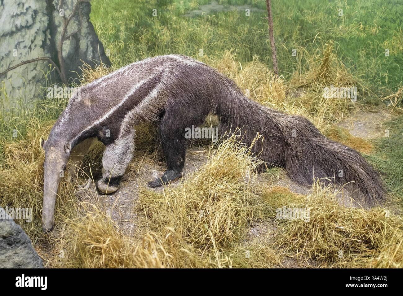 Dania - region Zealand - Kopenhaga - Muzeum Historii Naturalnej - Muzeum Zoologiczne , eksponat model - Mrowkojad wielki Denmark - Zealand region - Copenhagen - Natural History Museum - Zoological Mus - Stock Image