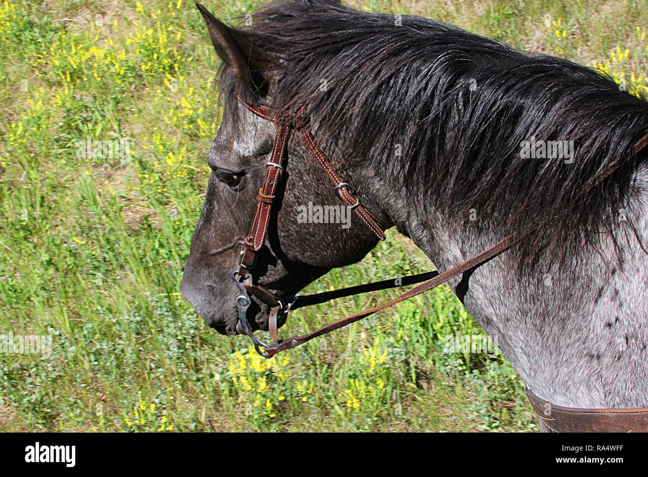 Horse's head with bridle. - Stock Image