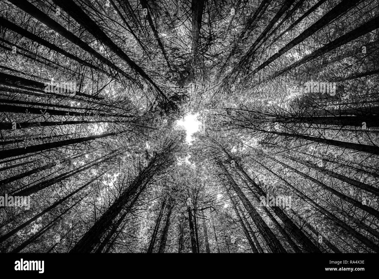 High trees in redwood forest viewed from below in infrared black and white effect. Nature background concept - Stock Image