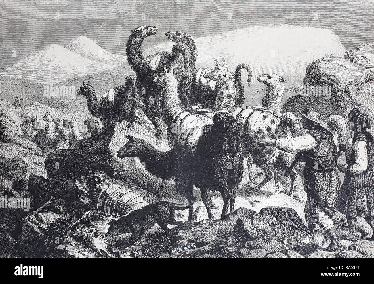 Digital improved reproduction, transport of copper ore with lamas in the Cordilleras, South America, Transport von Kupfererz durch Lamas in den Kordilleren, Südamerika, from an original print from the year 1865, 19th century, - Stock Image