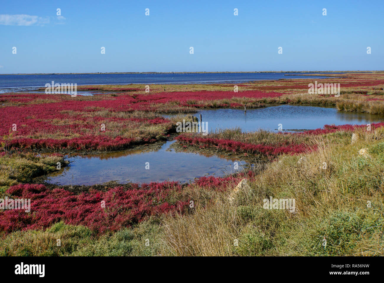 Field with red salicornia Salt-tolerant plant. Saltwort plant (Salicornia sp.) growing in a soil with a high salt content. This plant is growing in th Stock Photo