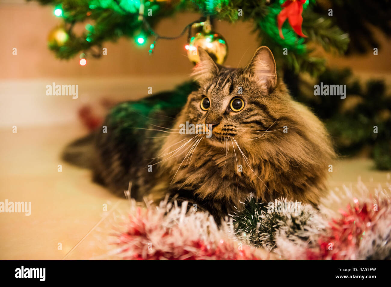 Christmas Pranks.Funny Norwegian Cat Under Christmas Tree On New Year Cat