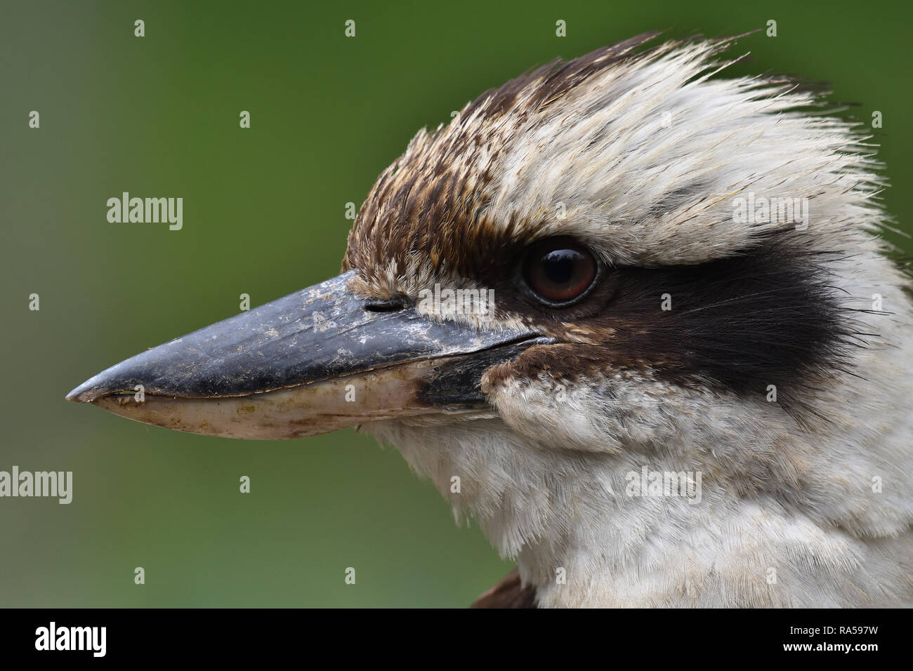 An extreme close-up of an Australian, Queensland Laughing Kookaburra ( Dacelo novaeguineae ) in profile, perched on a tree branch resting - Stock Image