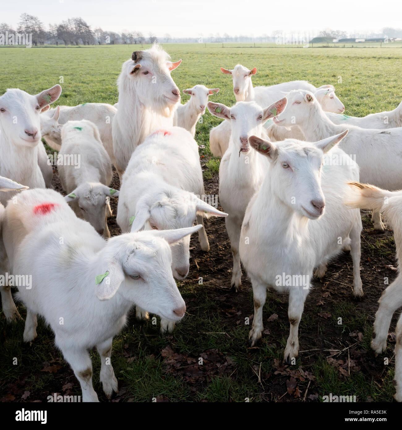 white goats in green meadow near farm on utrechtse heuvelrug