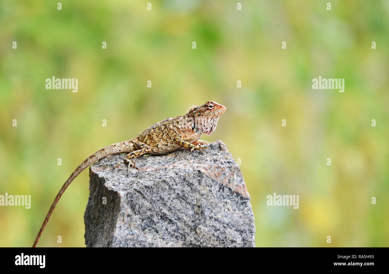 Collared lizard basking on rock - Stock Image