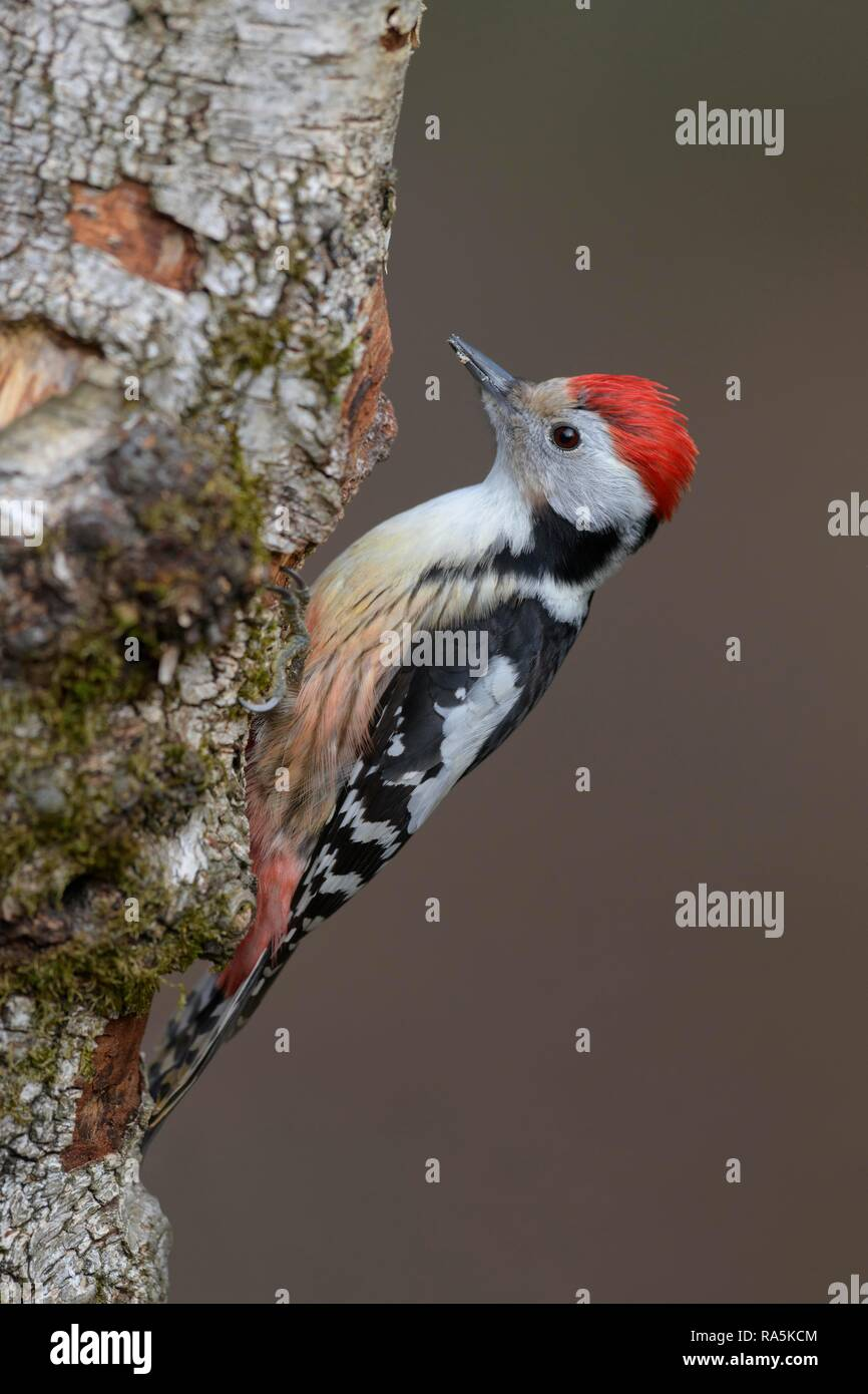 Middle spotted woodpecker (Leiopicus medius), foraging at Downy birch (Betula pubescens), biosphere area Swabian Alb Stock Photo