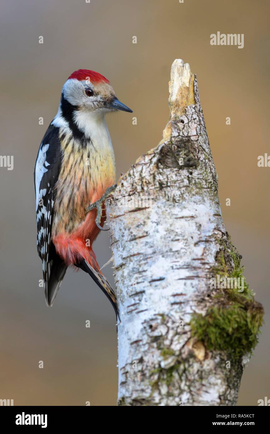 Middle spotted woodpecker (Leiopicus medius), an Downy birch (Betula pubescens), with moss and tree fungi Stock Photo
