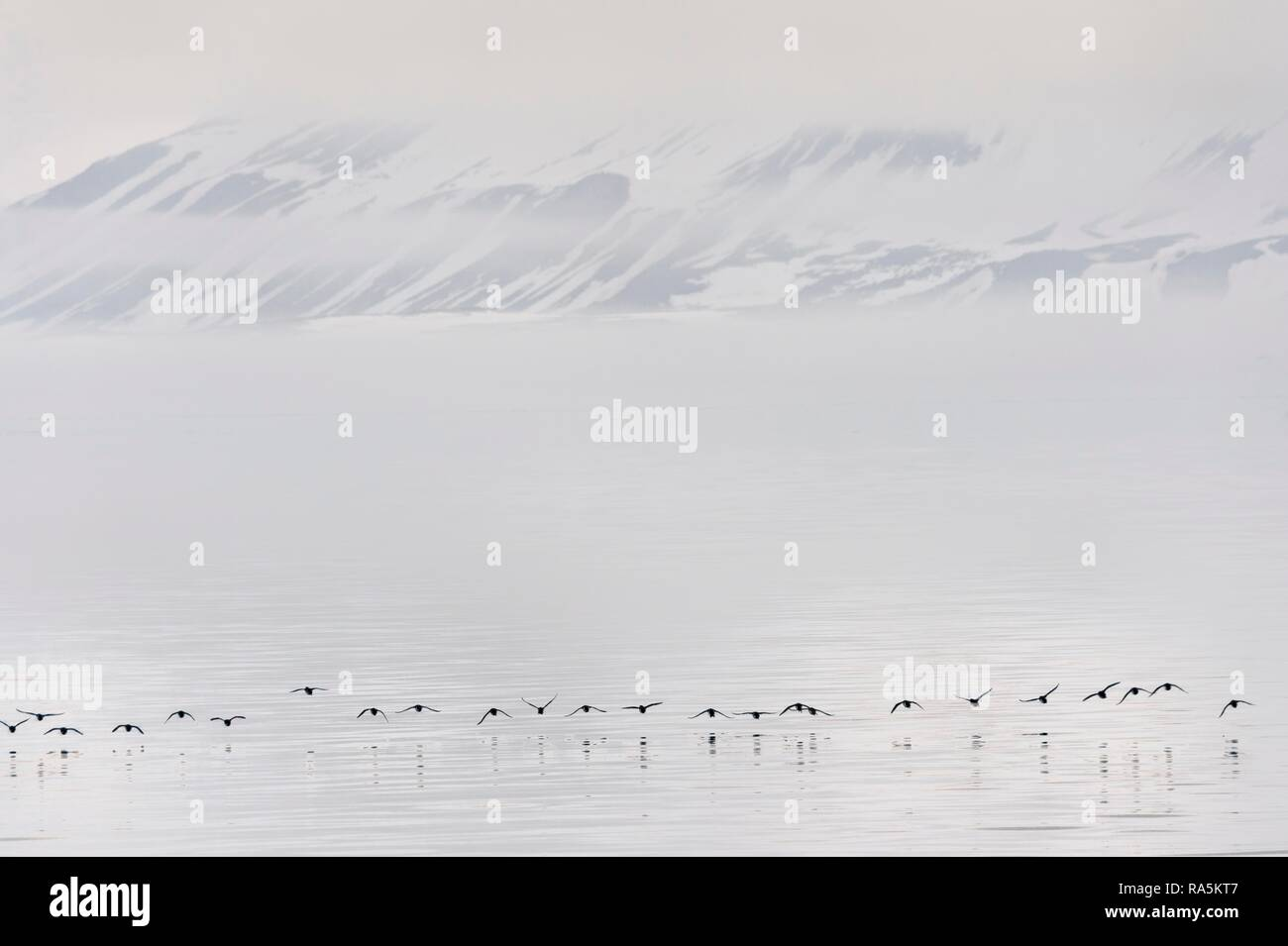 Flock of Thick-billed Murres (Uria lomvia) or Brunnich's guillemots Lying over Hinlopen Strait, Spitsbergen Island Stock Photo