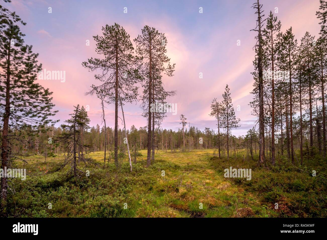 Moor landscape with conifers, sunset red, pink clouds in the sky, Hossa National Park, Ruhtinansa, Suomussalmi, Kainuu, Finland - Stock Image