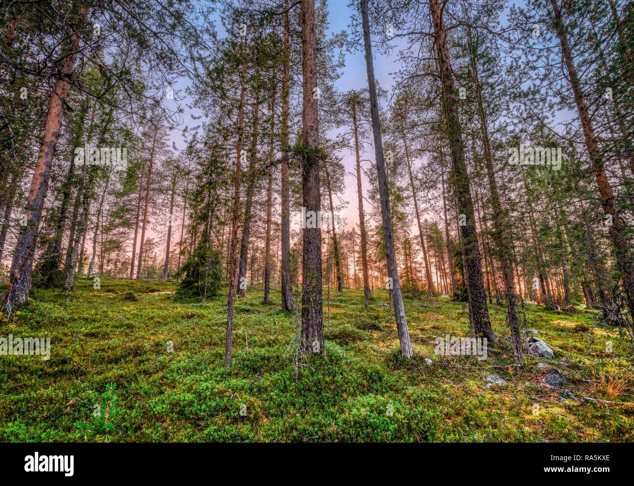 Sunset in boreal, arctic forest, pink horizon, Kittilä, Lappi, Finland - Stock Image