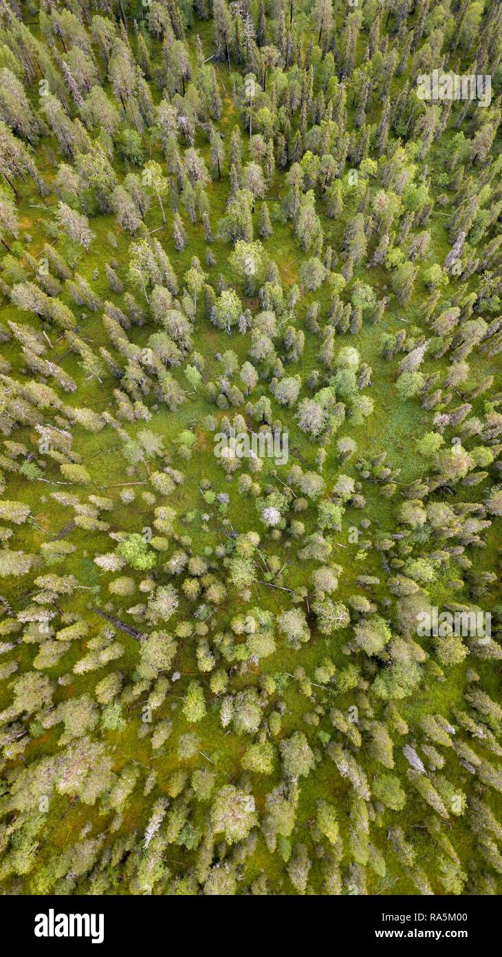 Drone shot, boreal, arctic conifers, forest, moss, wetland, salla, Lappi, Finland, Finland - Stock Image