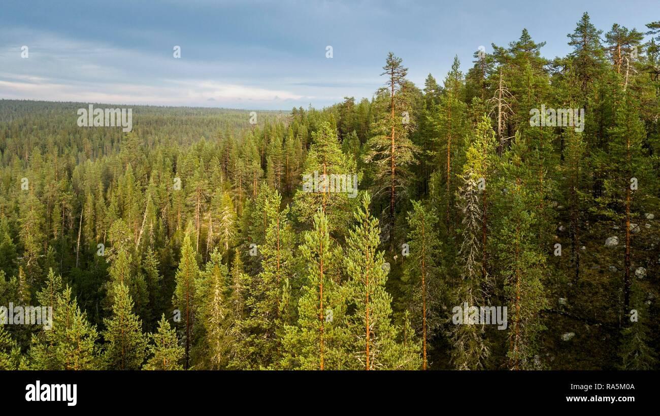 Drone shot, boreal, arctic conifers, forest, Salla, Lappi, Finland - Stock Image