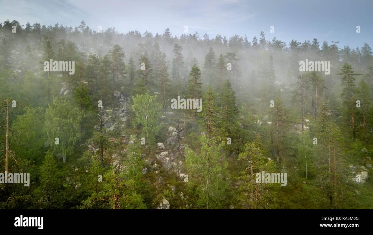 Drone shot, fog in boreal, arctic forest, conifers, deciduous trees, salla, Lappi, Finland - Stock Image