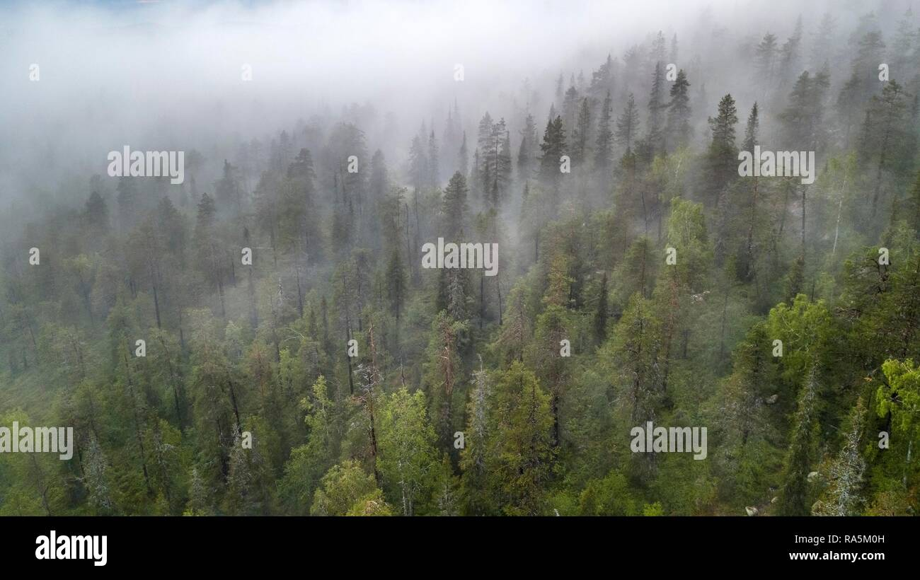 Drone shot, fog in boreal, arctic forest, conifers, deciduous trees, salla, Lappi, Finland - Stock Image