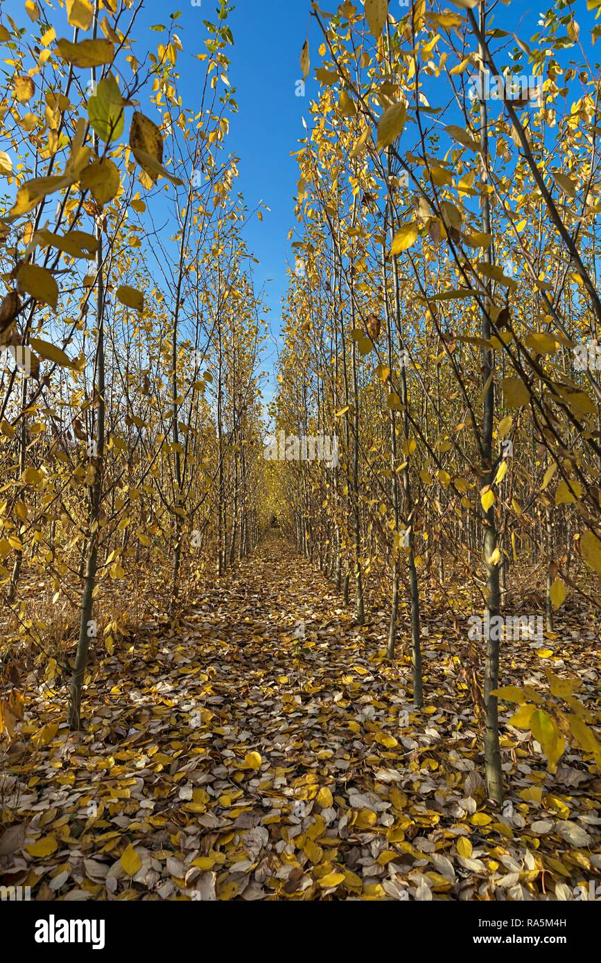 Tree nursery, short rotation plantation, Poplar plantation (Populus) in autumn foliage, Franconia, Bavaria, Germany - Stock Image