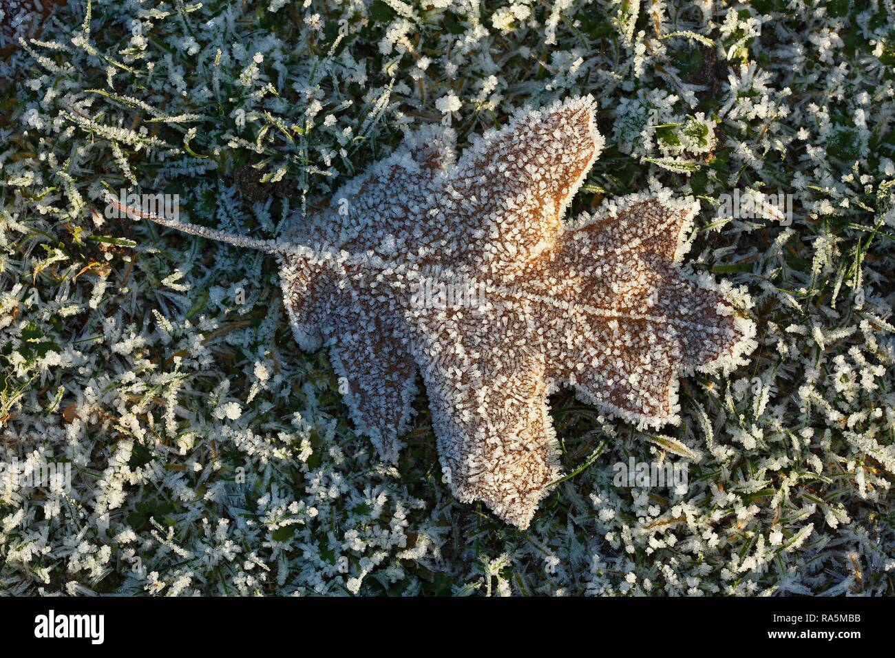 Oak leaf (Quercus robur) covered with ice crystals and hoarfrost in a meadow, Schleswig-Holstein, Germany Stock Photo