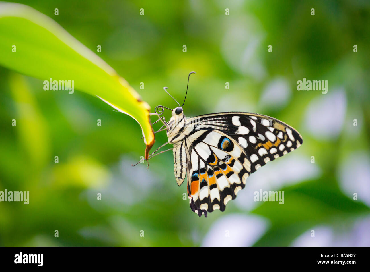 Close up macro of a Common Lime Swallowtail Butterfly resting on the tip of a green leaf with green foliage in background Stock Photo