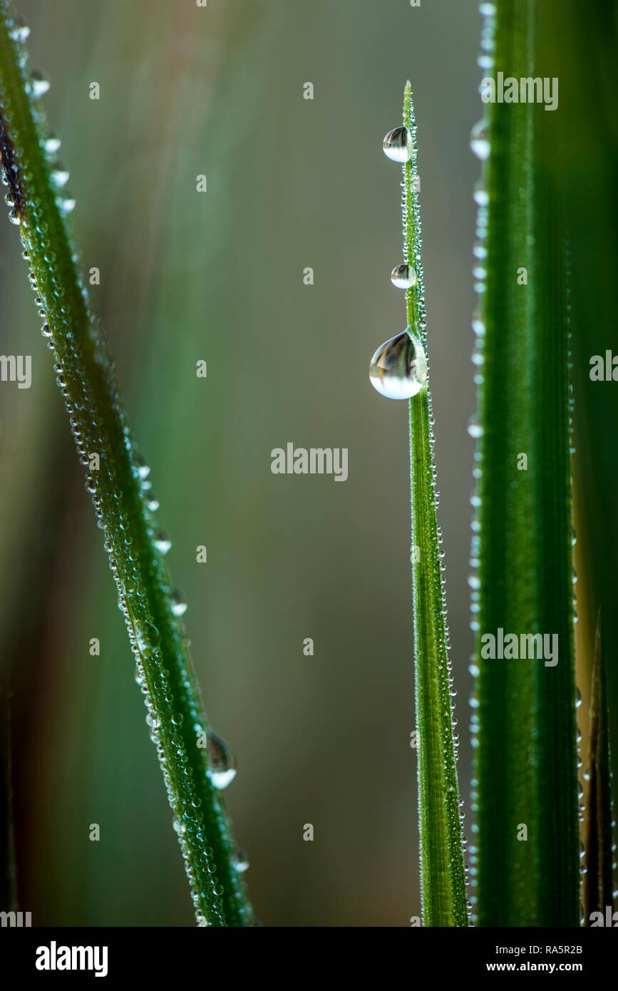 Sharp blade of grass with dew drops, Germany - Stock Image