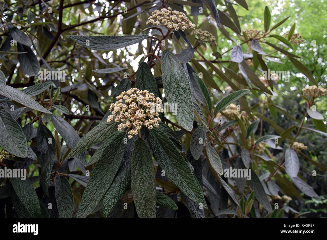 Viburnum rhytidophyllum (leatherleaf viburnum). Decorative shrub from Asia. - Stock Image