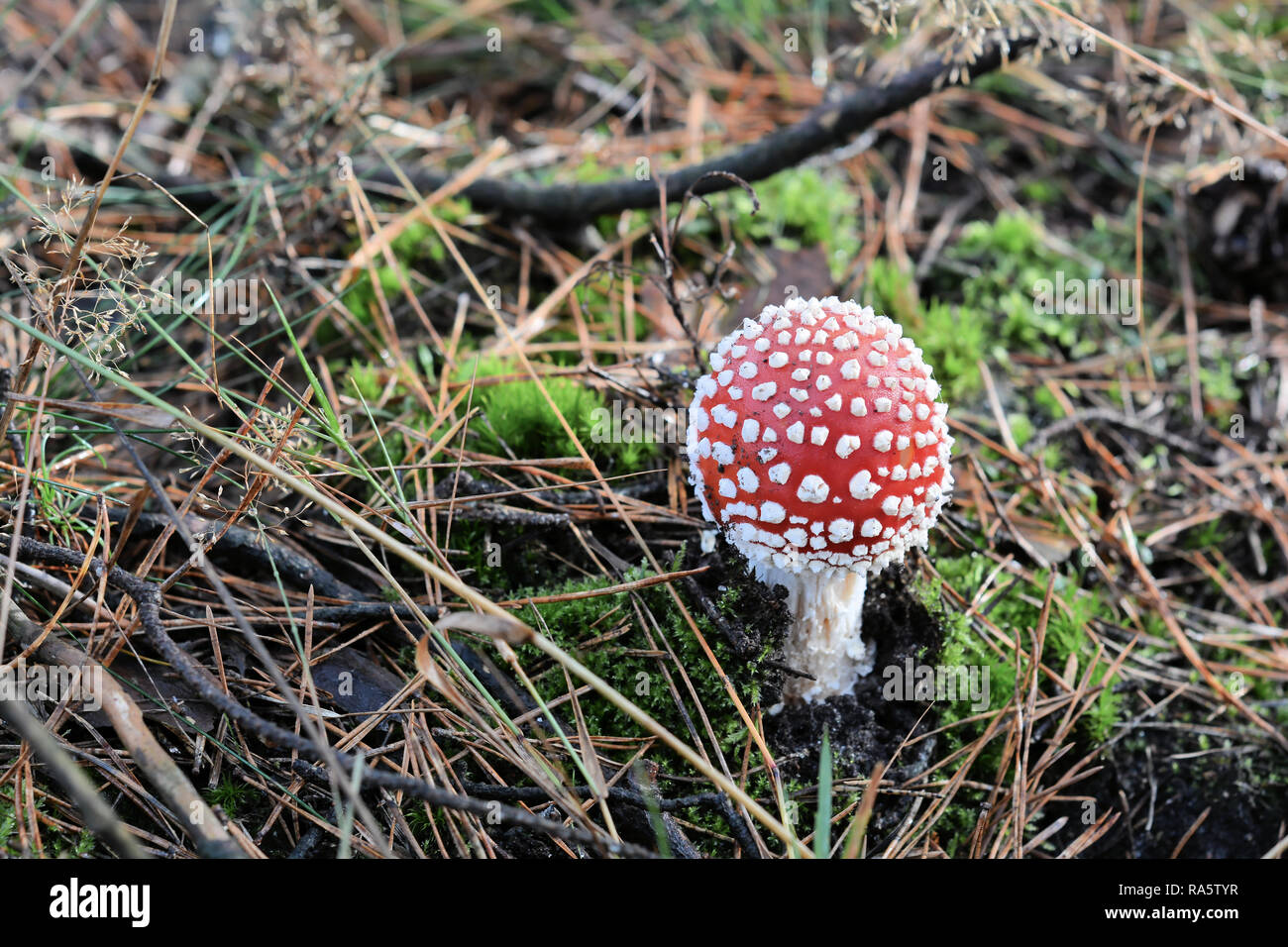 fly agaric mushroom on the forest floor - Stock Image