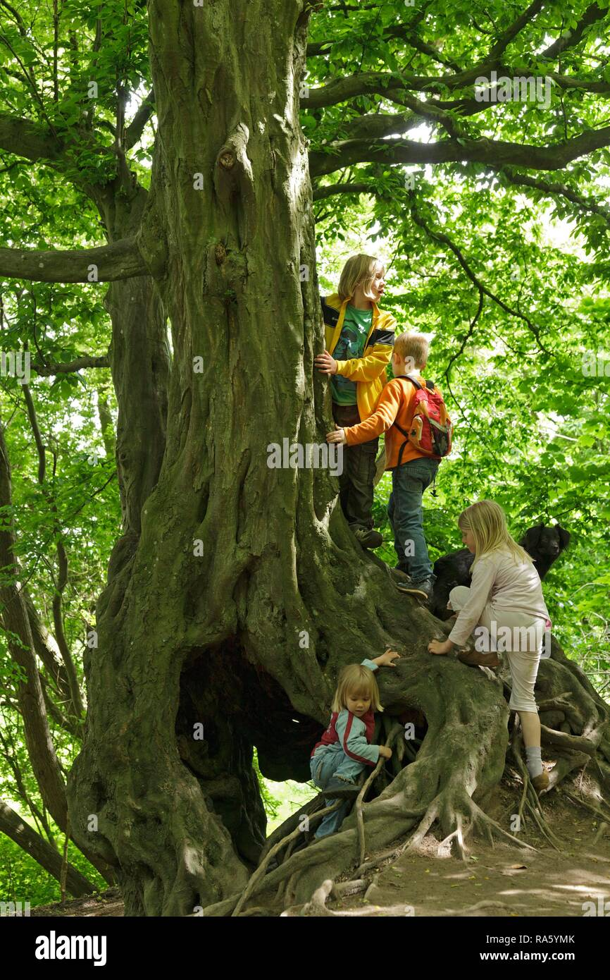 Children playing on an old tree, Haithabu, Schleswig-Holstein, Germany - Stock Image