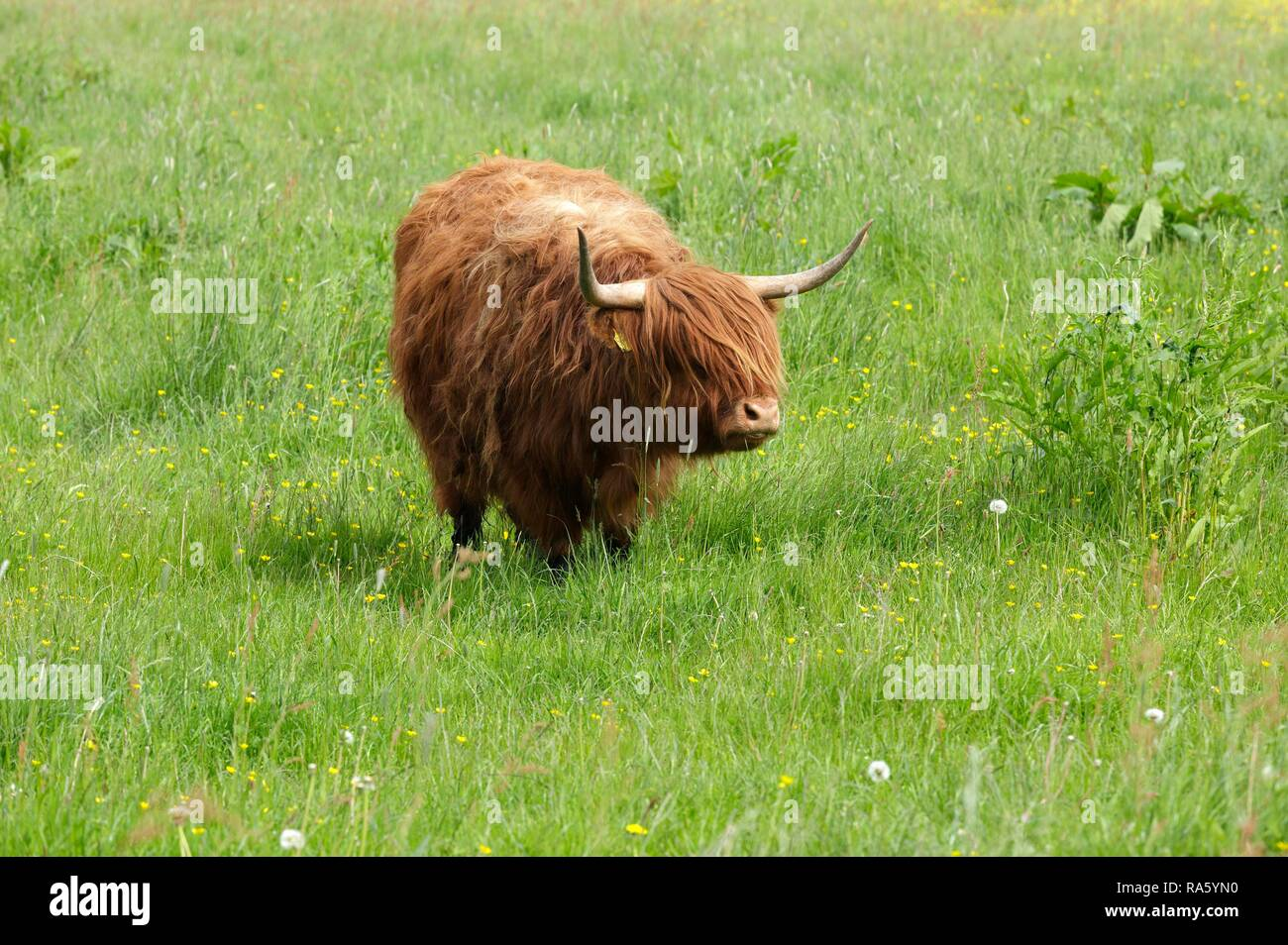 Highland cattle standing in a meadow, Haithabu, Schleswig-Holstein, Germany - Stock Image
